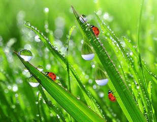 Fototapeta Świeża trawa krople rosy z bliska i biedronki
