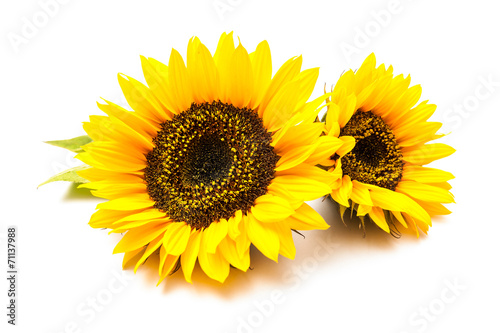 Foto op Canvas Zonnebloem Sunflowers on the white background