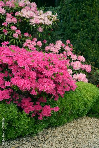 Papiers peints Azalea Buxus sempervirens Suffruticosa & Azalia Kermesina