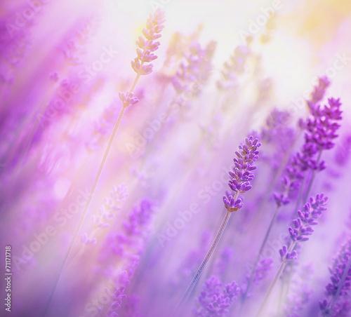Fototapeta Soft focus on lavender obraz na płótnie