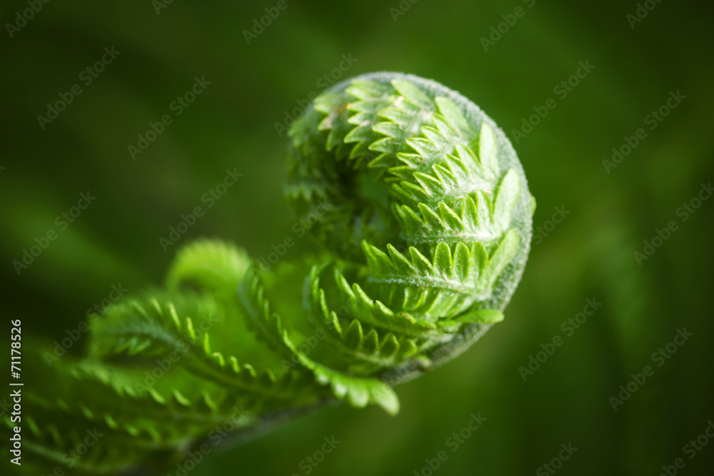 Fototapeta Macro photo of young fern sprout with selective focus