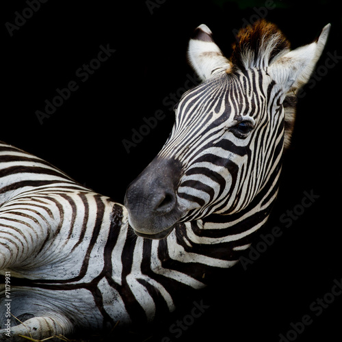 Aluminium Prints Zebra A Headshot of a Burchell's Zebra
