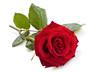 Leinwandbild Motiv Red rose.