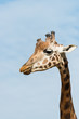 head and neck of young giraffe from the side at blue sky