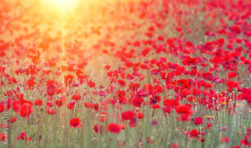 poppies - 71198757