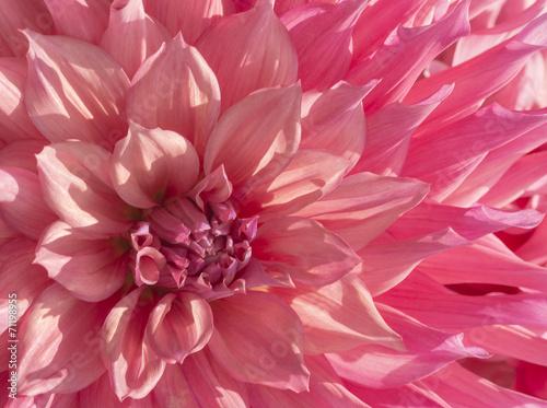 Papiers peints Dahlia Colorful Pink Dahlia Flower