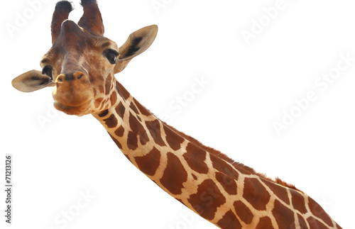 Foto op Canvas Giraffe Giraffe closeup portrait isolated on white background