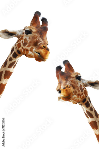 Couple of giraffes closeup portrait isolated on white background Poster