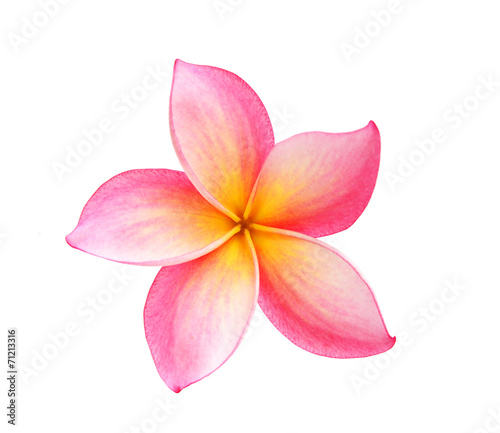 Foto op Canvas Frangipani Frangipani flower isolated on white