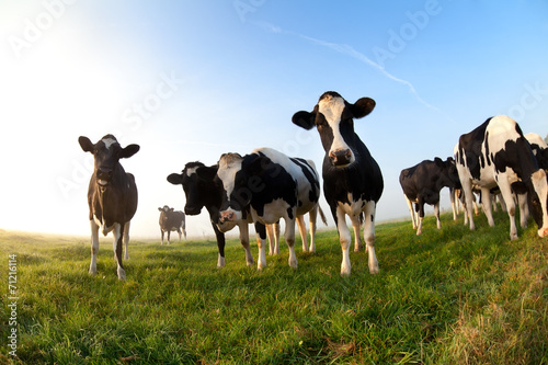Photo Stands Cow cows on pasture over blue sky