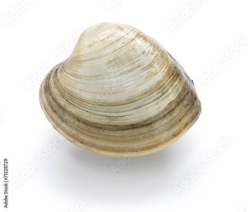 Vászonkép hard clam, quahog isolated on white background