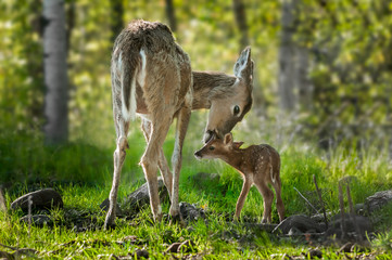 Fototapeta White-Tailed Deer (Odocoileus virginianus) Licks Her Fawn