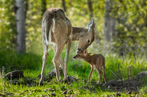 Photo sur Toile Cerf White-Tailed Deer (Odocoileus virginianus) Licks Her Fawn