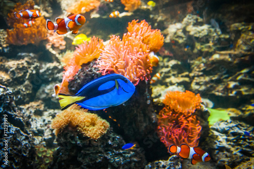 Plakat  Clownfish and Blue Tang in the water with corals