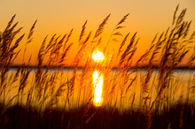 Reed Against A Colourful Decline