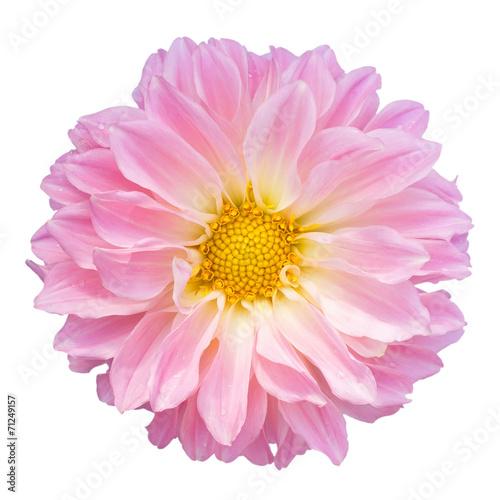 Poster de jardin Dahlia Pink dahlia isolated on white background