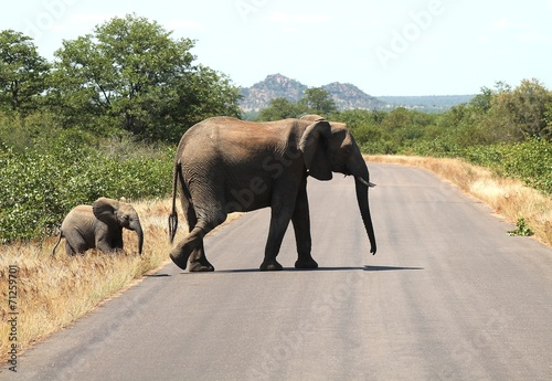 Door stickers Nature Overstekende olifant met haar kalf in Kruger National Park
