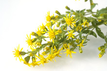 Goldrute; Solidago Virgaurea; ...
