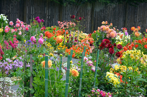Colorful assorted dahlia garden