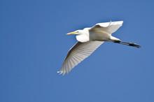 Great Egret Flying In A Blue Sky