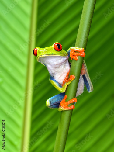 Spoed Foto op Canvas Kikker red eyed tree frog, cahuita, puerto viejo, costa rica