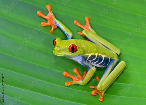 Photo sur Toile Grenouille red eye tree frog on green leaf, cahuita, costa rica