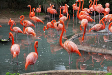 A Flock Of Flamingo's In Their...