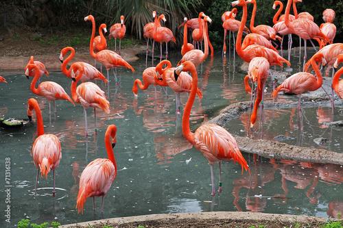 Garden Poster Flamingo A flock of Flamingo's in their natural habitat