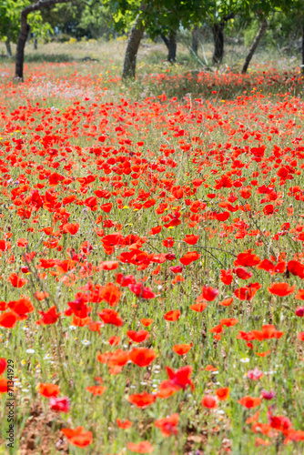 Photo  Poppies in Field (5)