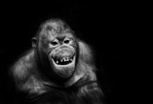 Funny Orangutan Monkey Smiling...