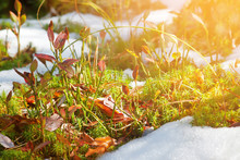 Sunlight Is Melting Snow On The Moss