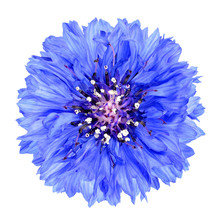 Blue Cornflower Flower Isolate...