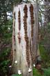 Reihen von Baumpilzen an einem Baumstumpf