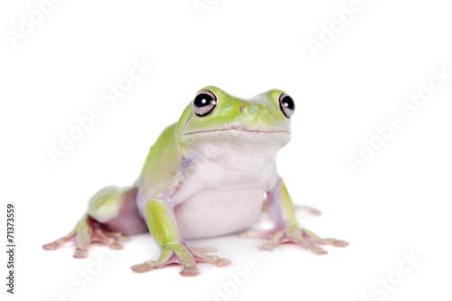 Tuinposter Kikker Australian Green Tree Frog on white background