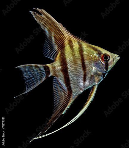 Angelfish (Pterophyllum scalare) isolated on black background Wallpaper Mural