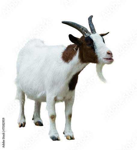 Farm goat. Isolated on white Canvas Print