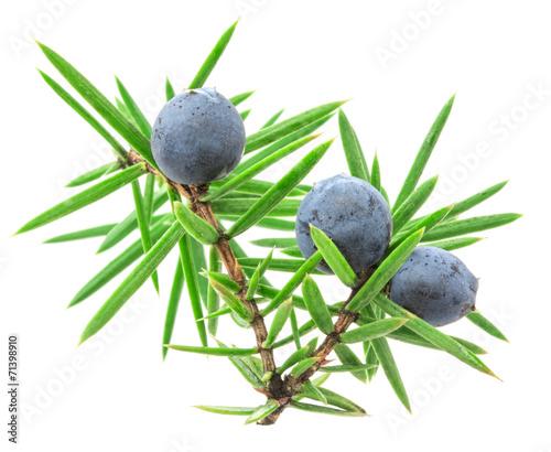 Fototapeta Juniper twig with berries obraz