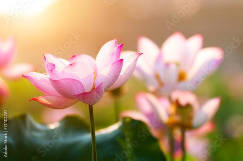 Foto op Canvas Lotusbloem lotus flower blossom