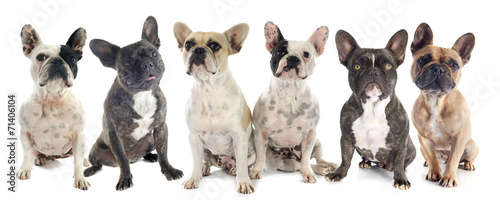 Poster Bouledogue français french bulldogs