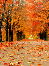 Ablaze In Orange Color, Lane Disappears In Distance.  Fall Foilage Is Seen At Its Best In Harrison, Arkansas.