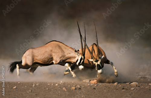 Gemsbok fight Wallpaper Mural