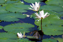 Summer Pond With Lilies