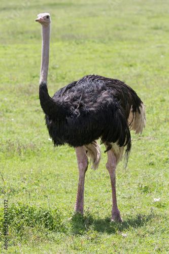 Autocollant pour porte Autruche Ostrich Male