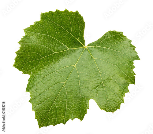 grape leave isolated on the white background Fototapete
