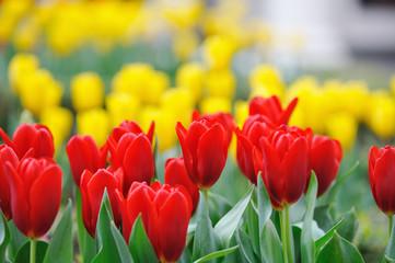 fototapeta tulipany czerwono zółte