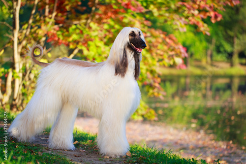 Afghan Hound dog Wallpaper Mural