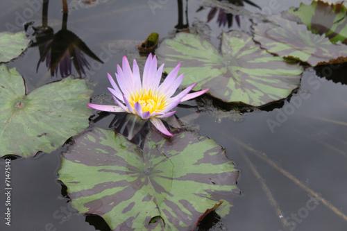 Deurstickers Waterlelies seerose