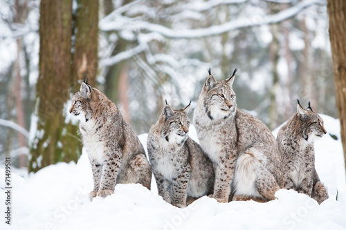 Photo sur Toile Lynx lynx family