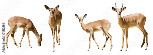 Tuinposter Antilope Set of impalas