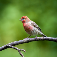 Male House Finch Perched On A ...